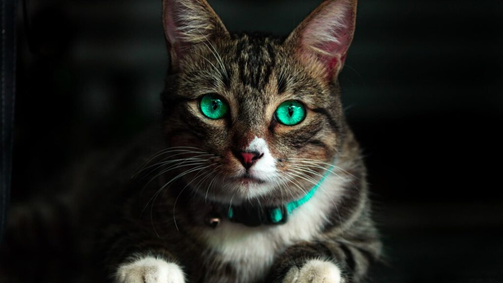 Cat Computer Wallpaper For 4k