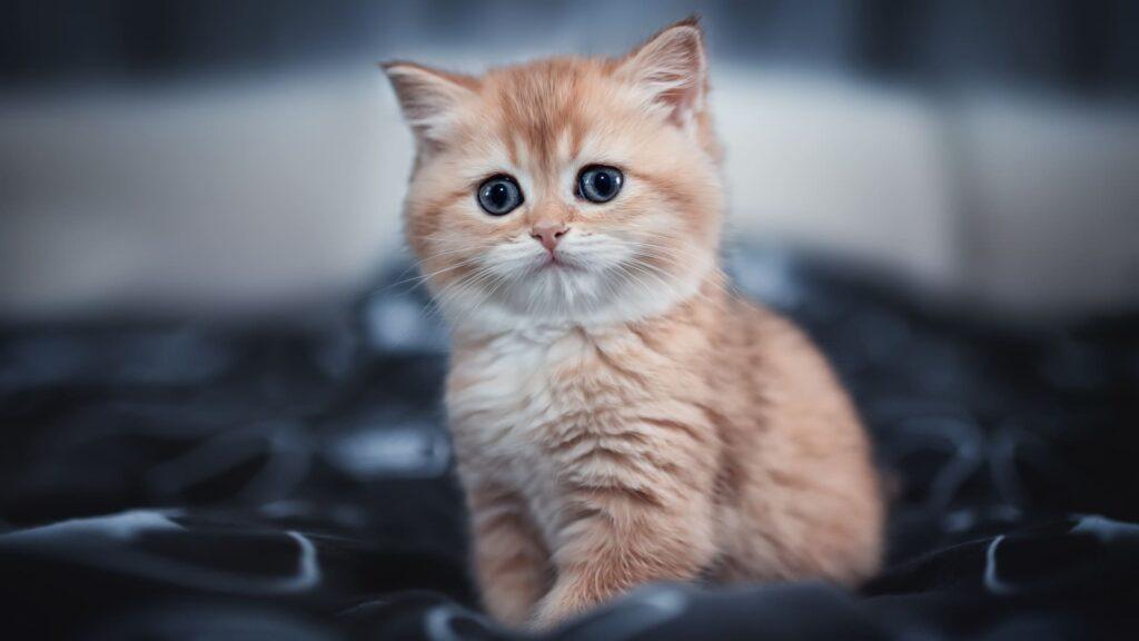Cat Laptop Background Full Hd