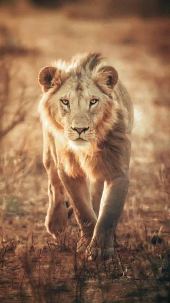 lion 4k wallpaper