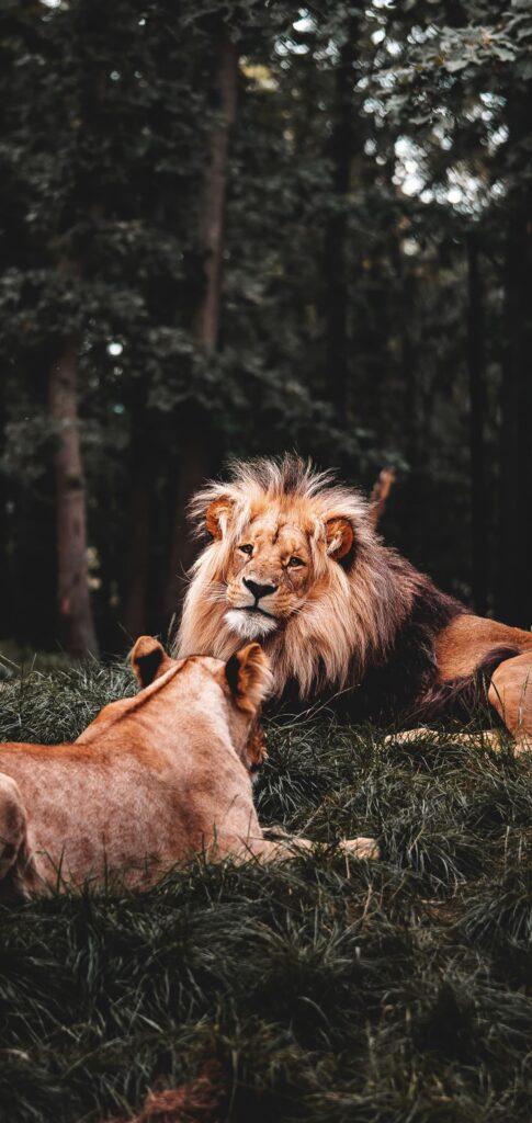 Lion Background Full Hd