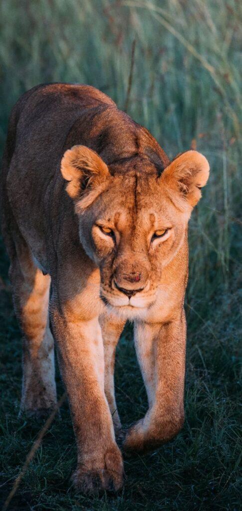 Lion Images 2020