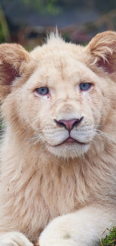 Lion Images Download
