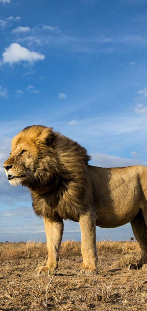 Lion Photo Full Hd