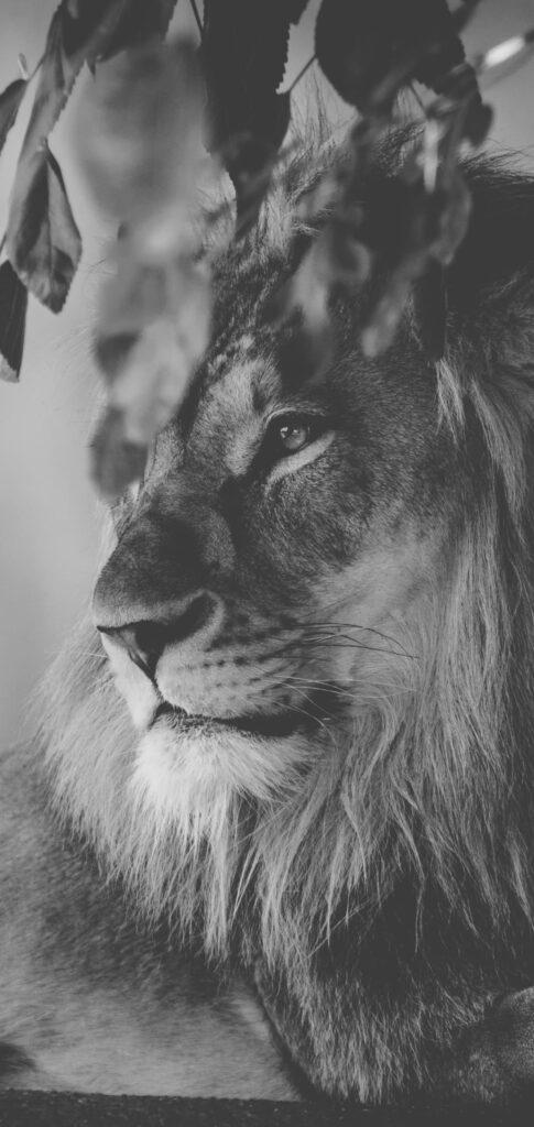 Lion Photos Hd