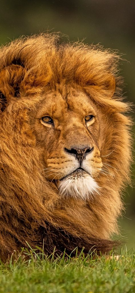 Lion Wallpapers Full Hd