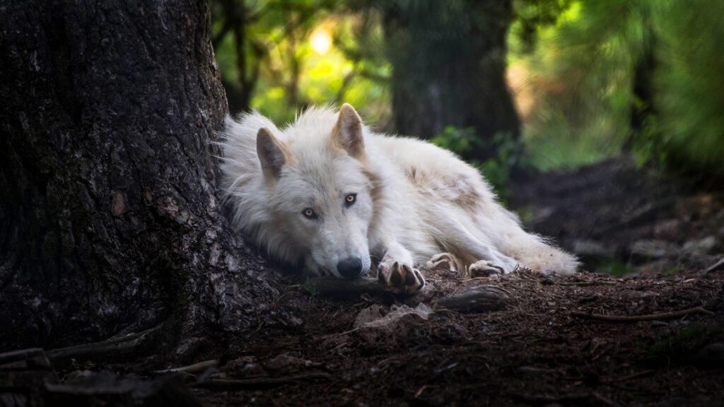 Wolf Laptop Background