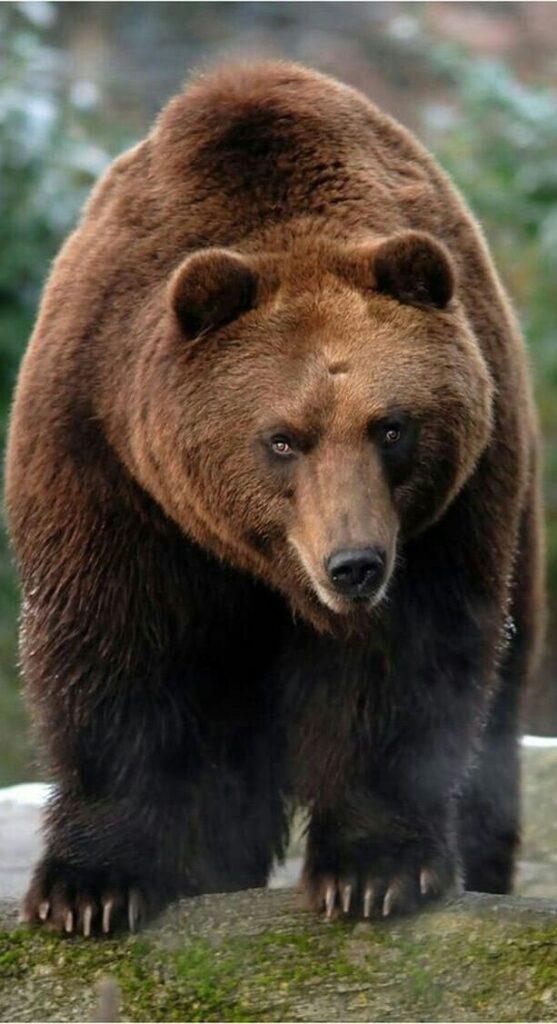 Bear Pics Hd