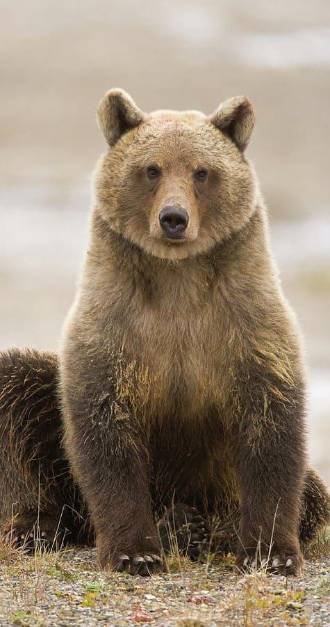 Bear Wallpaper For Mobile