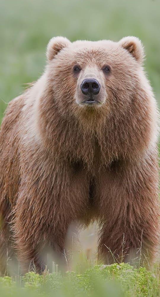 Bear Wallpaper For Phone