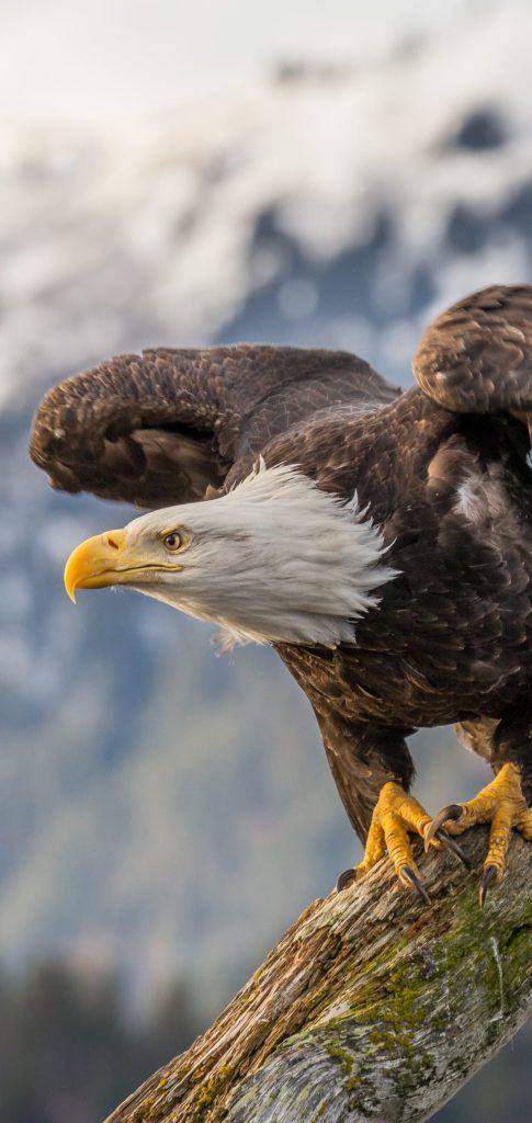 Eagle Best Wallpaper