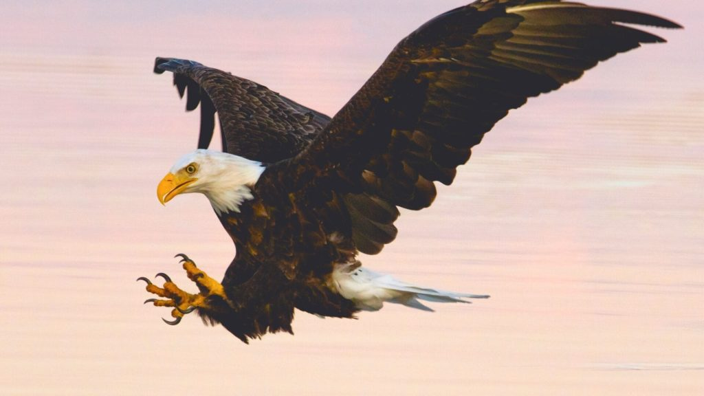 Eagle Laptop Wallpapers