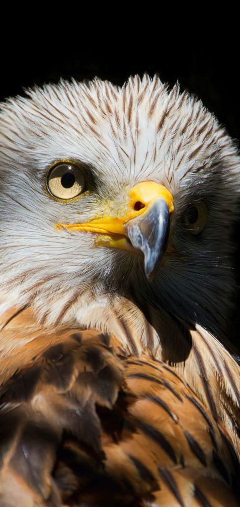 Eagle Wallpaper 4k