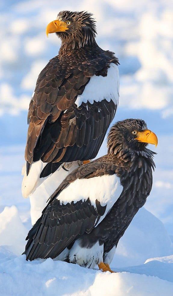 Eagle Wallpaper For Mobile