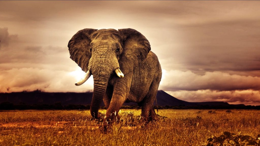 Elephant Computer Wallpapers