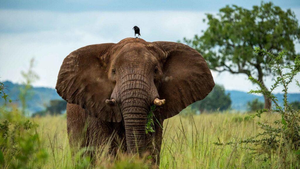 Elephant For Desktop Wallpaper