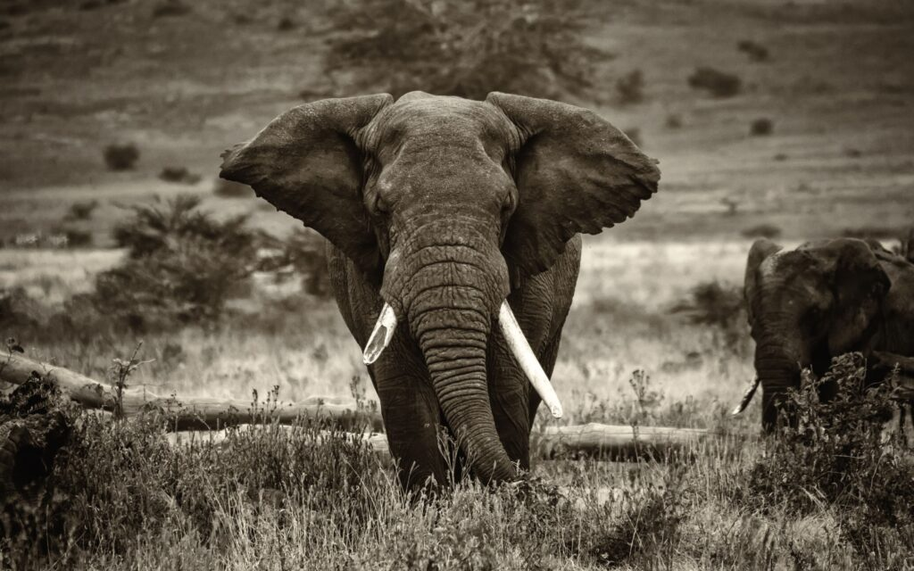 Elephant For Laptop Hd Wallpaper