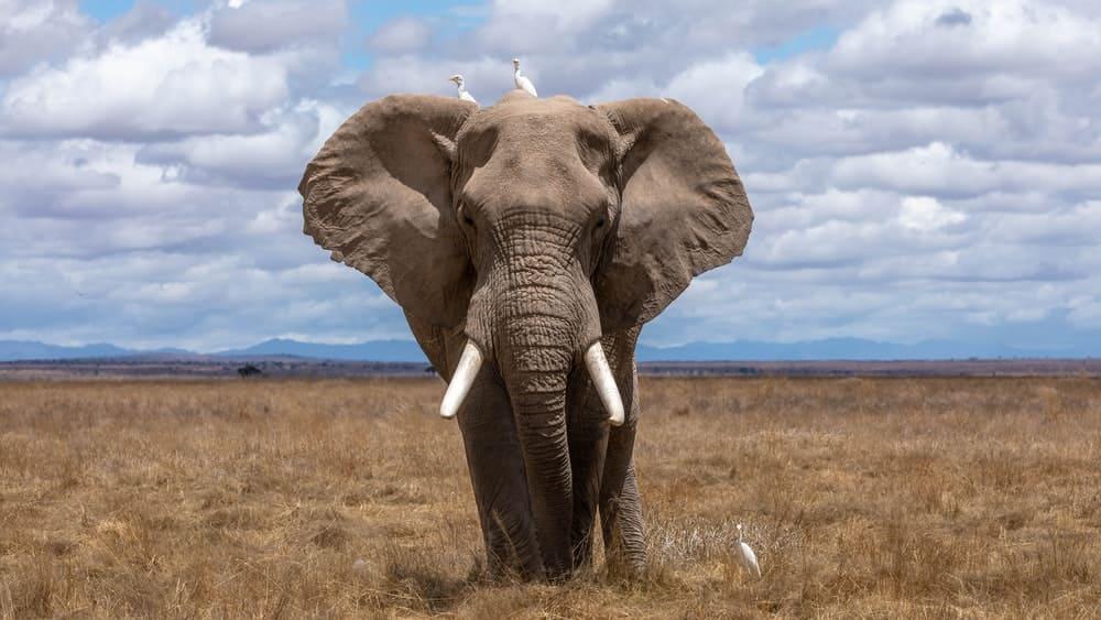 Elephant For Laptop Wallpaper