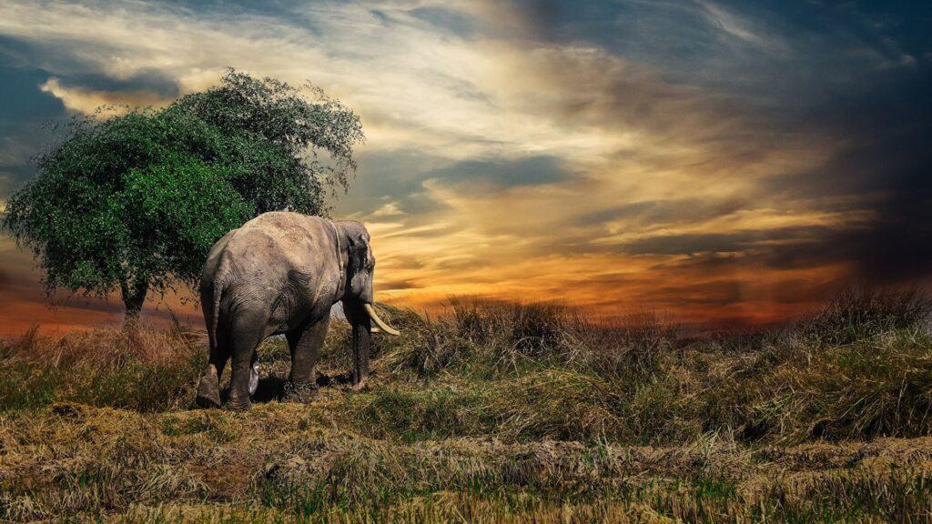 Elephant Pc Backgrounds