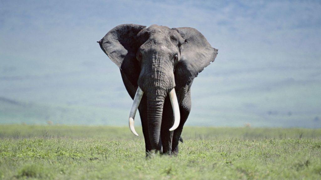 Elephant Pc Wallpaper