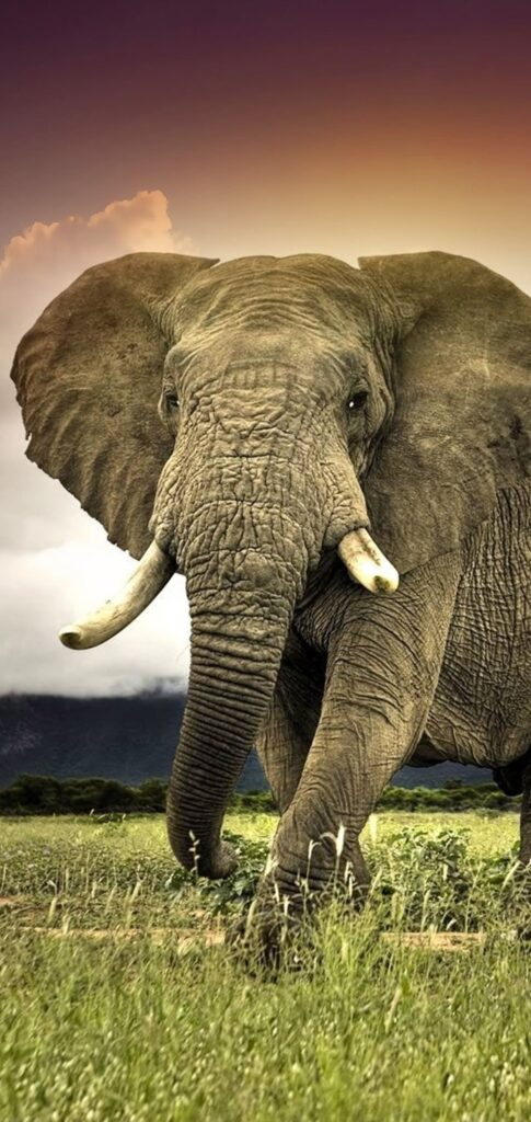 Elephant Wallpaper For Android
