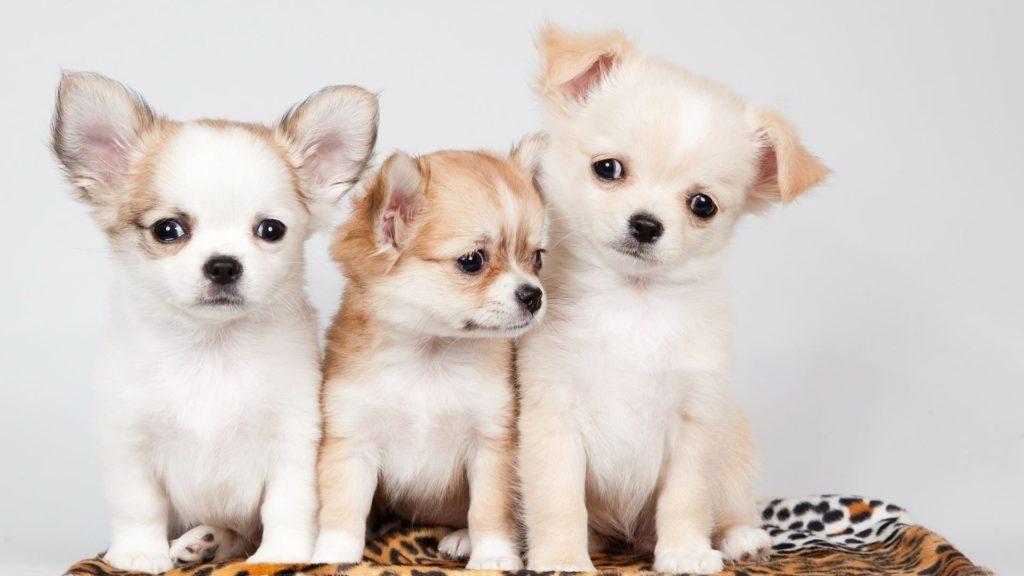 Puppy Computer Wallpaper
