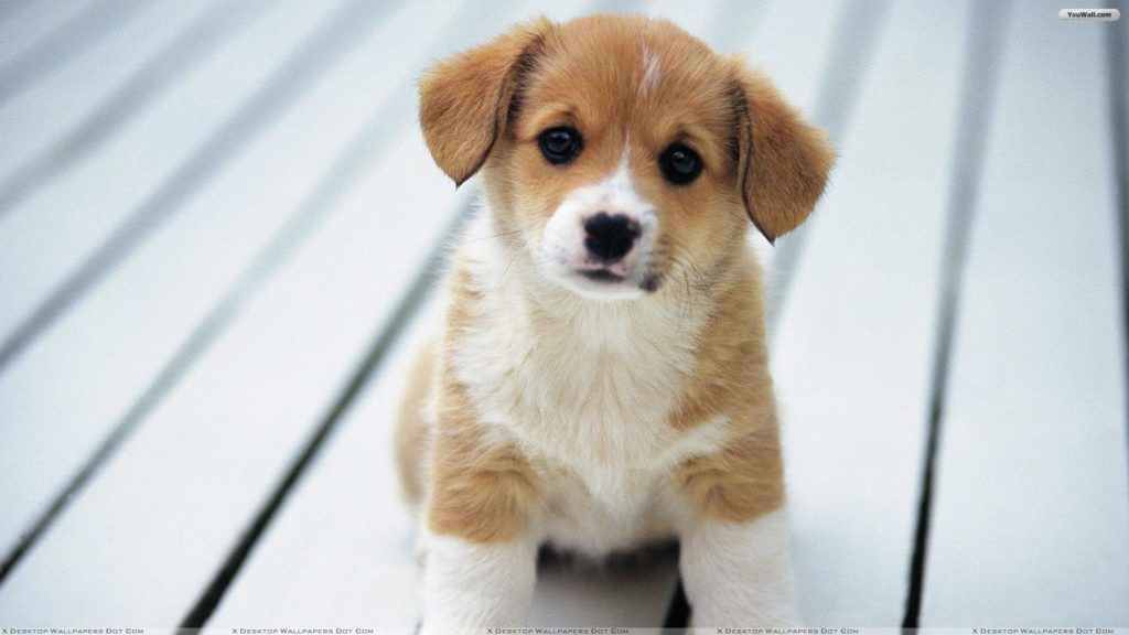 Puppy Computer Wallpapers