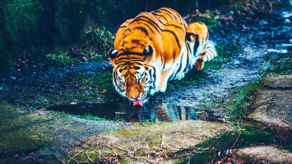 Tiger Computer Wallpaper
