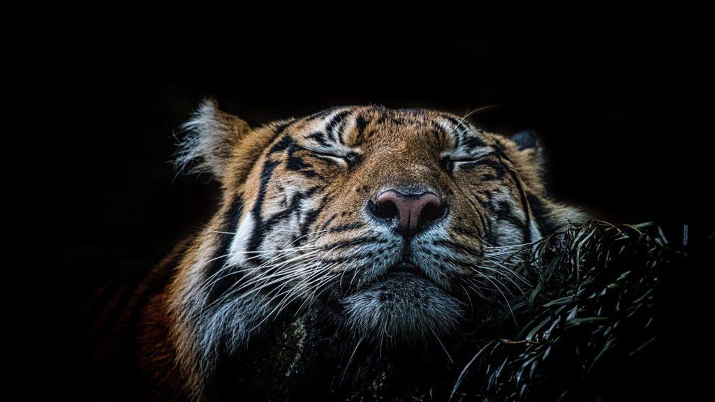 Tiger Computer Wallpapers