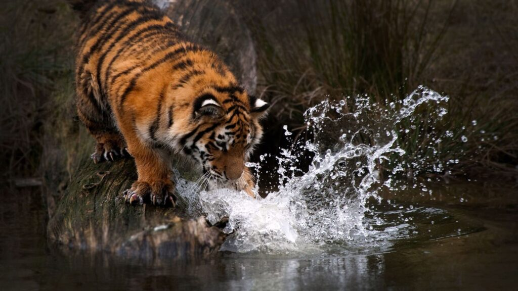 Tiger For Laptop Wallpaper