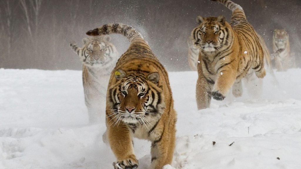 Tiger Pc Wallpapers