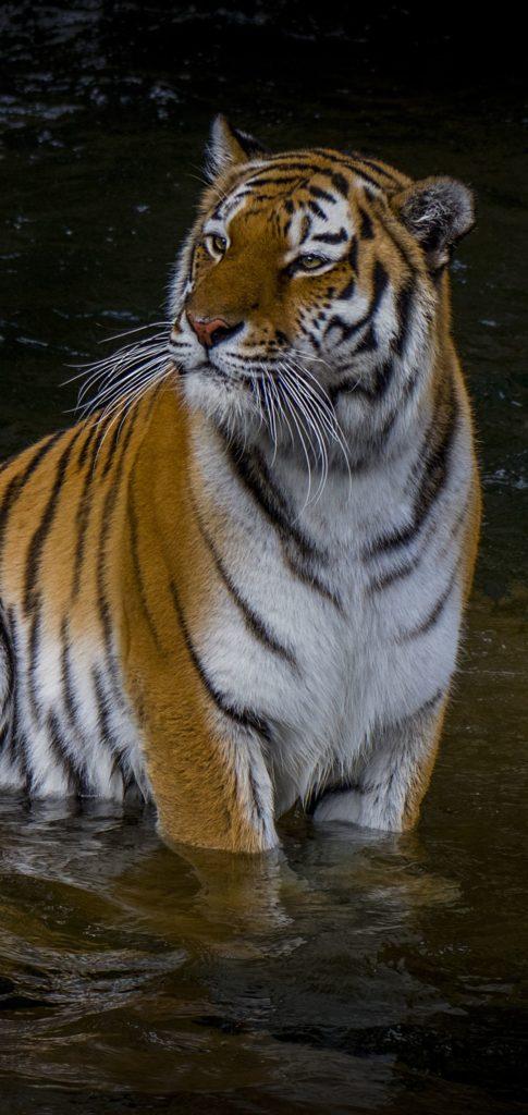 Tiger Wallpaper 4k