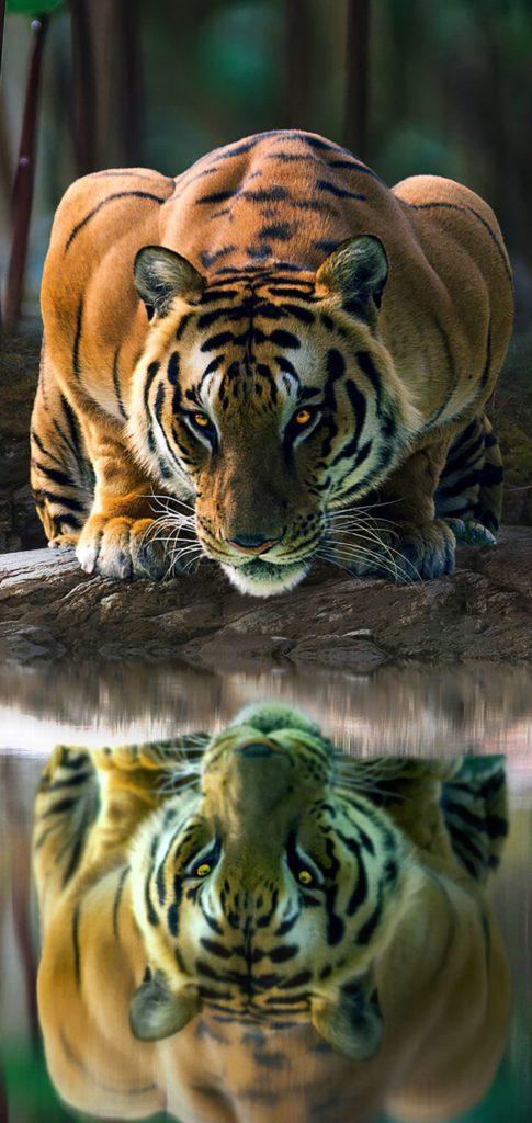Tiger Wallpaper Android