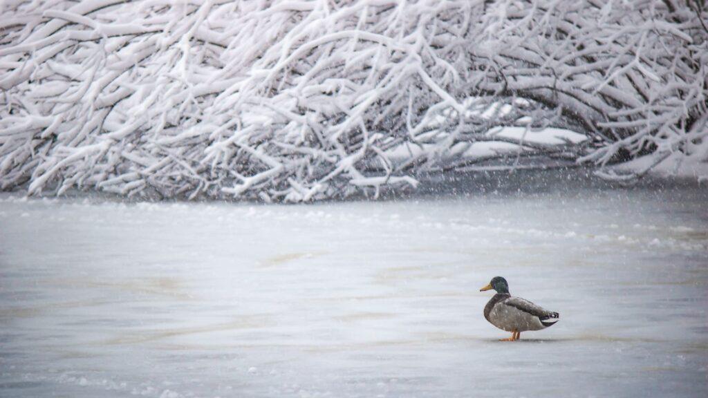 Duck Background For Desktop