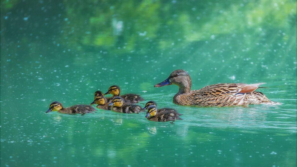 Duck Macbook Wallpaper
