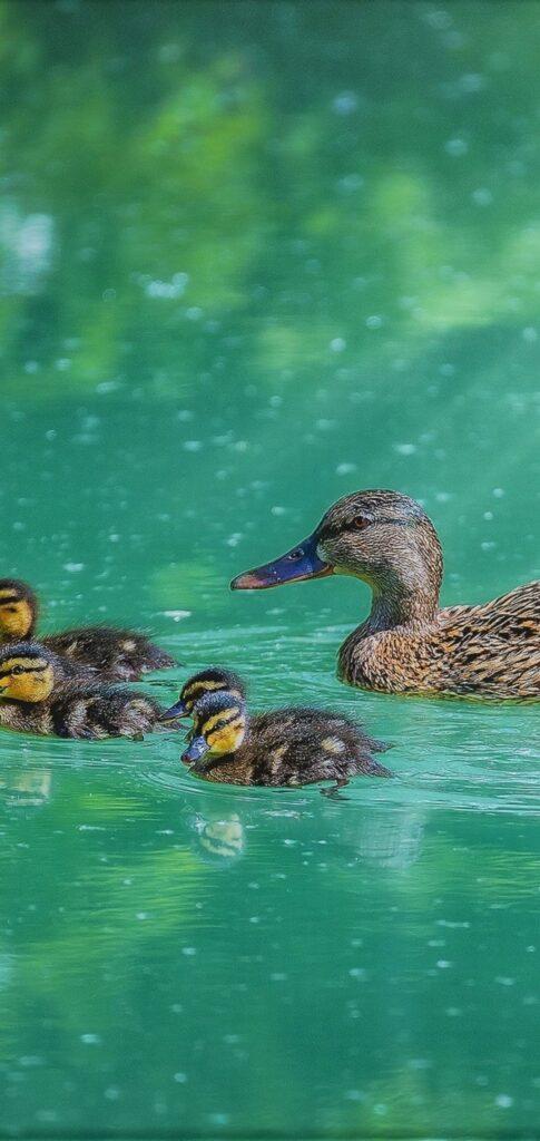 Duck Mobile Wallpaper