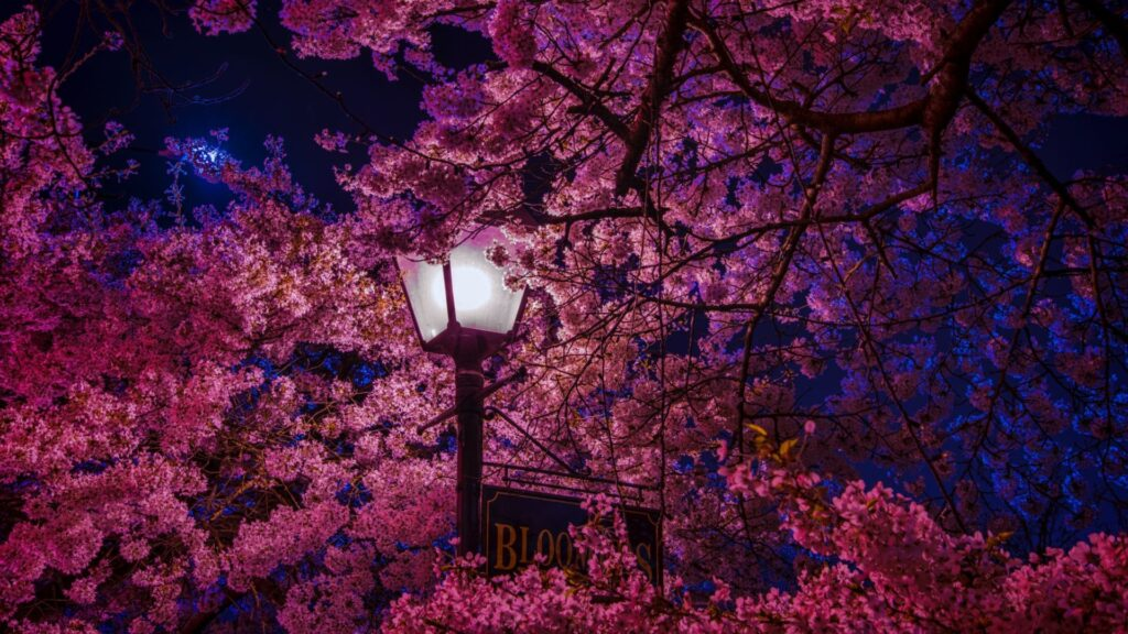 cherry blossom computer wallpaper