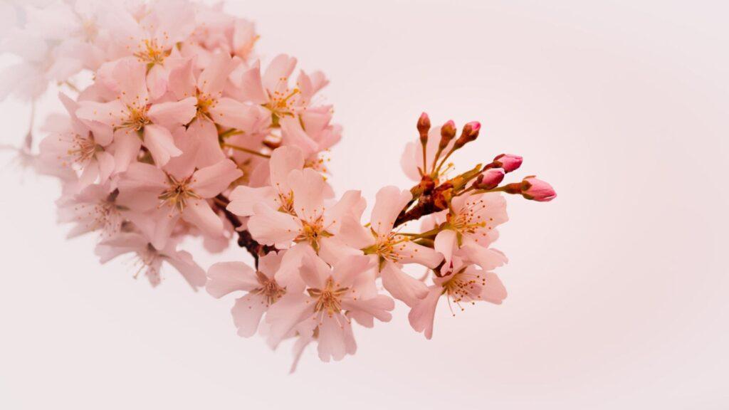 cherry blossom laptop wallpaper