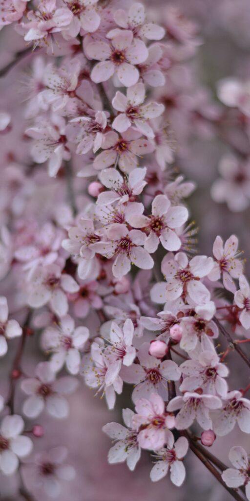 cherry blossom mobile wallpaper