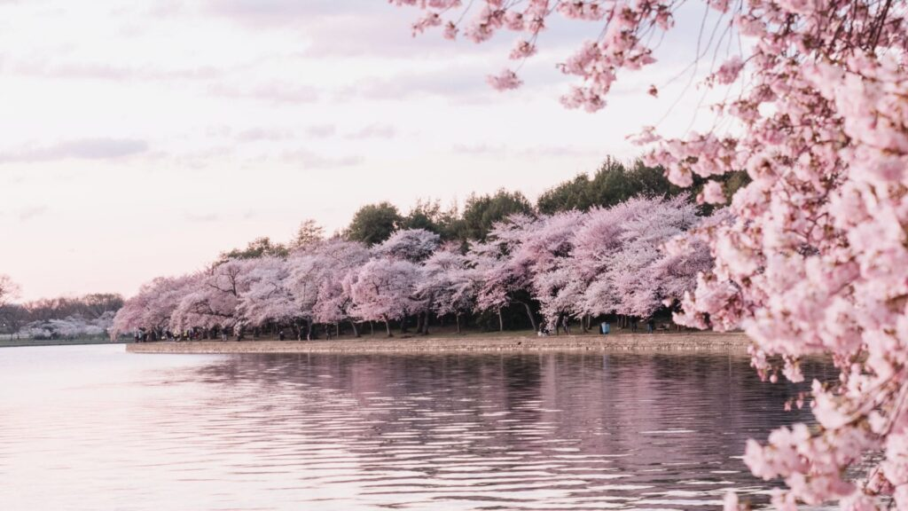 cherry blossom pc wallpaper