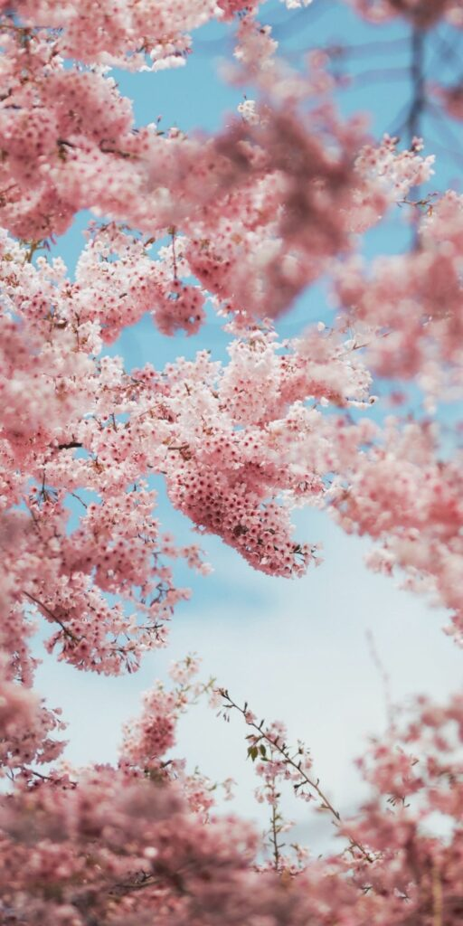 cherry blossom phone wallpaper