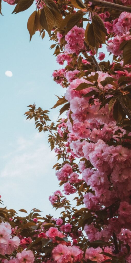 cherry blossom wallpaper download