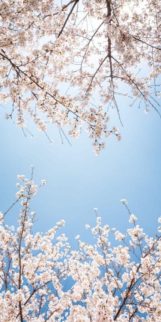 cherry blossom wallpaper hd
