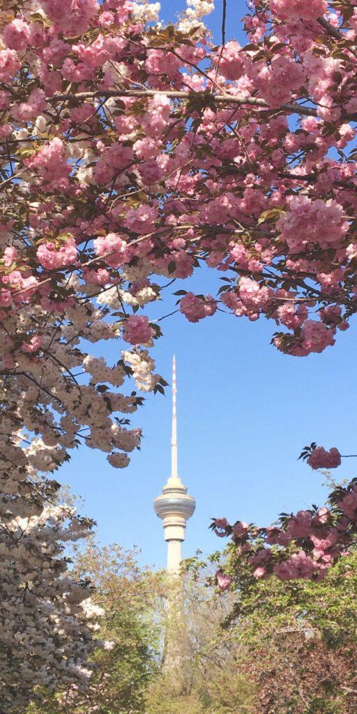 cherry blossom iphone wallpaper