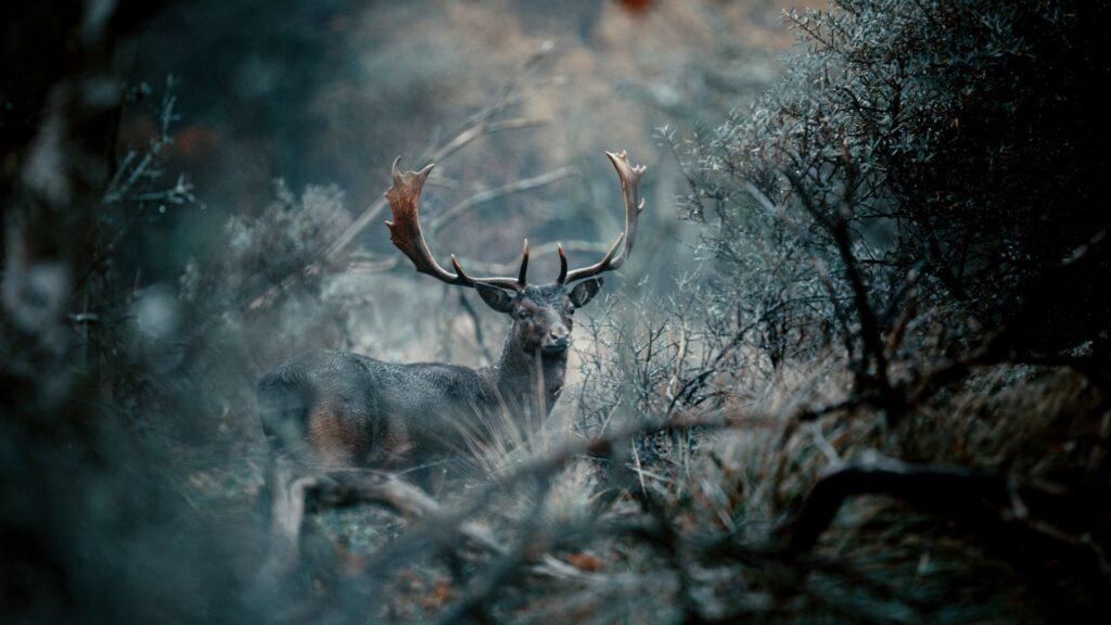 deer hd wallpaper