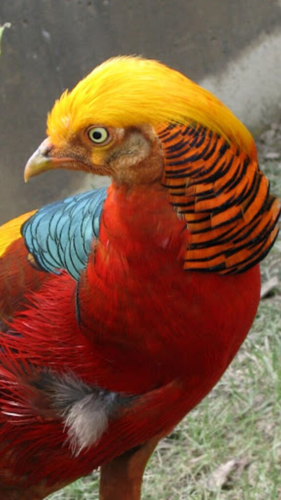 golden pheasant android wallpaper