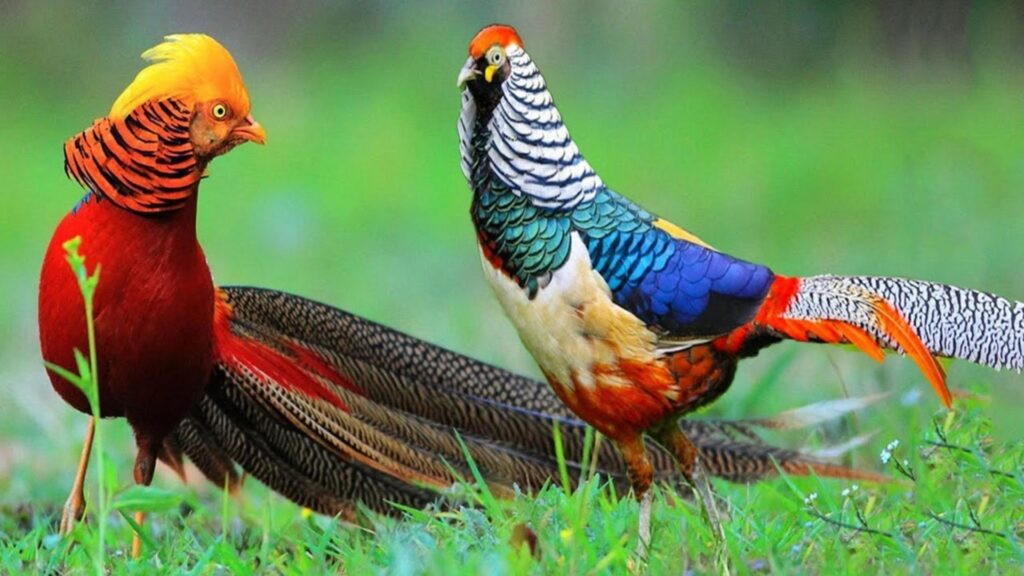 golden pheasant backgrounds