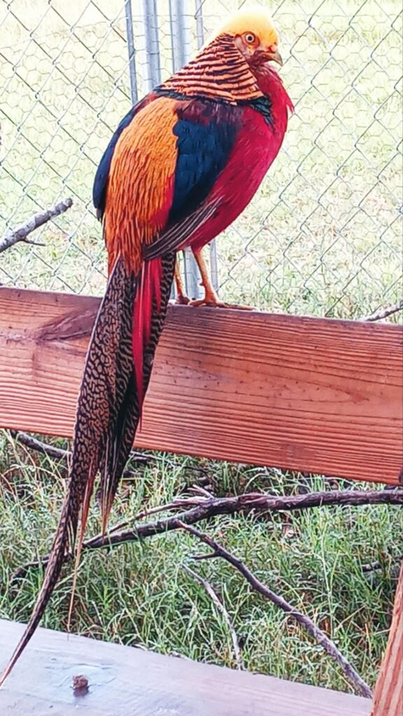 golden pheasant phone wallpaper