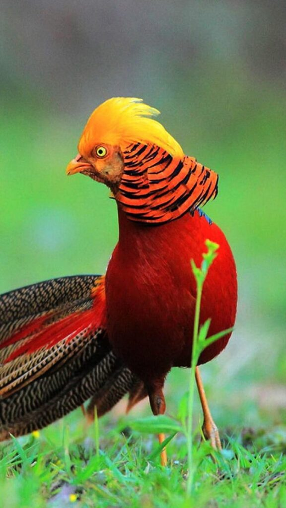 golden pheasant photos