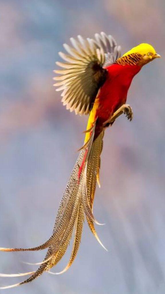 golden pheasant pictures
