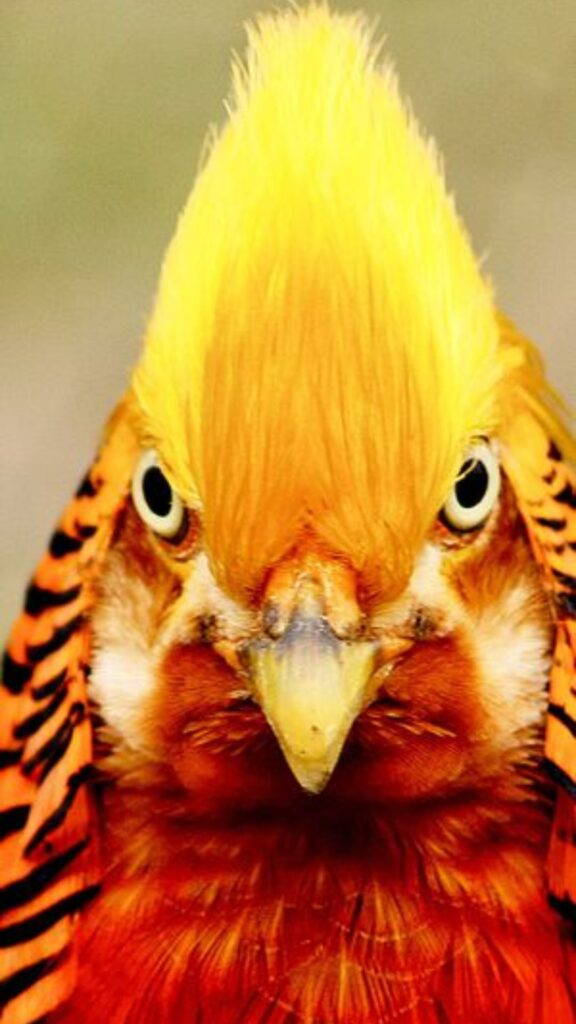 golden pheasant wallpaper